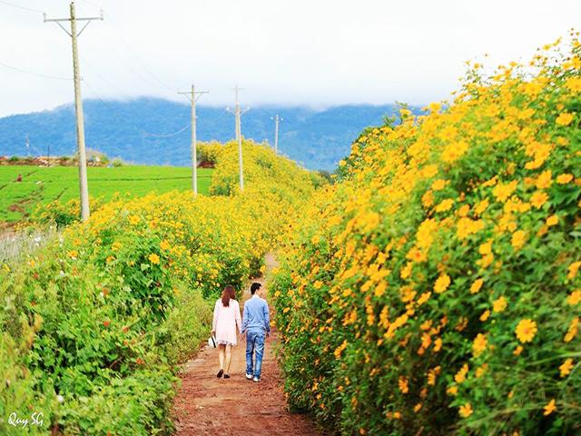 Hình ảnh Hoa Dã Quỳ ở Đà Lạt 2019
