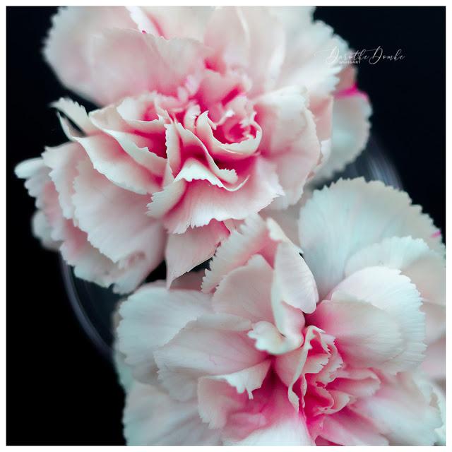 Dorothe Domke, photoart, Makro, macro, Fotoart, Fotokunst, Sauerland, carnation