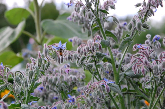 a bee getting nectar from a borage flower