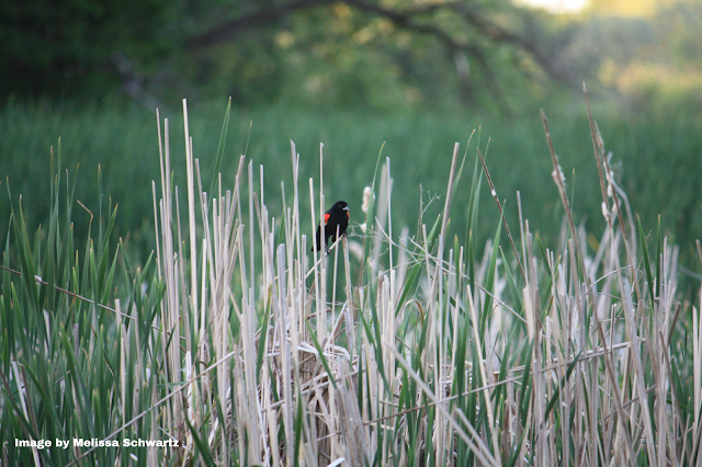 Red-winged blackbird resting upon a reed at Izaak Walton Park in Prospect Heights.