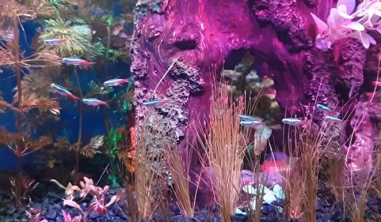 Best small aquarium fish - Neon Tetra