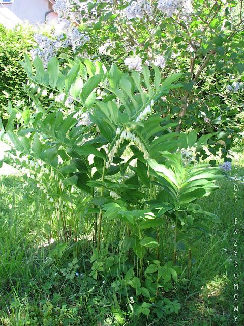 darmowe sadzonki, ogród przydomowy, ogród za grosze, rośliny za darmo, sadzonki za darmo, darmowe sadzonki