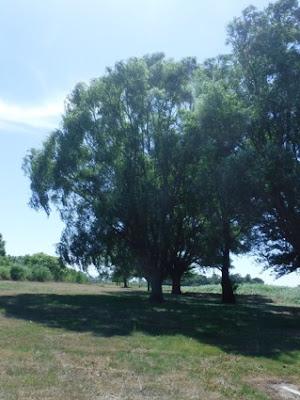 シロヤナギの大樹