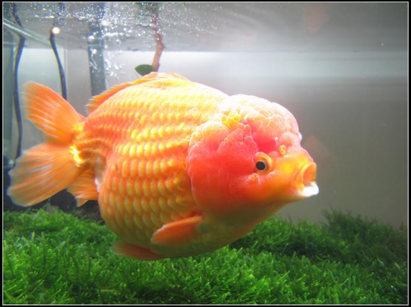 970 Gambar Hewan Ikan Mas HD Terbaik