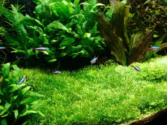 Hướng dẫn trải nền bằng rêu Ricca thủy sinh - rêu Ricca đã phát triển xanh tốt