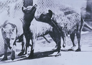 https://www.newscientist.com/article/mg23431240-500-its-eyes-shone-red-could-the-tasmanian-tiger-be-alive/#.WRNKUcVxHmo.blogger