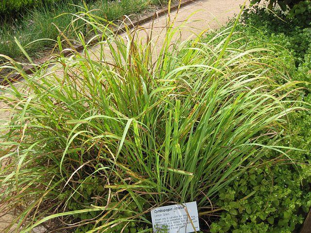 Planta de hierba limón, limoncillo o lemongrass.