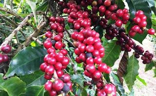 Café produzido em Piatã