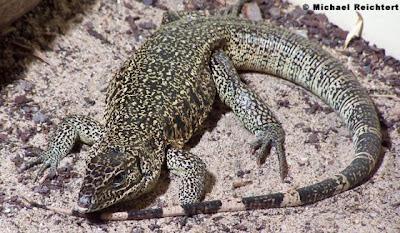 american lizards