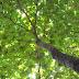 Karakteristik Tanaman Pohon Ketapang (Terminalia catappa L) Pohon Rindang Peneduh Taman dan Jalanan