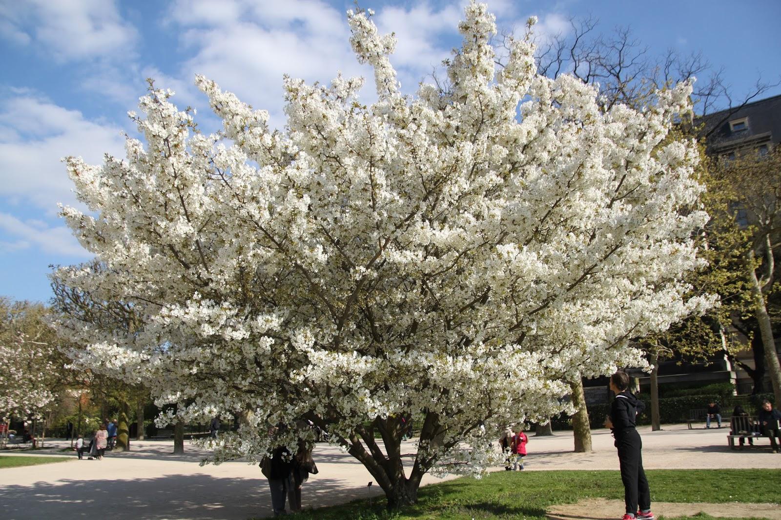 The Most Beautiful Tree In Paris Tomme Acajou Au Lait De Salers A