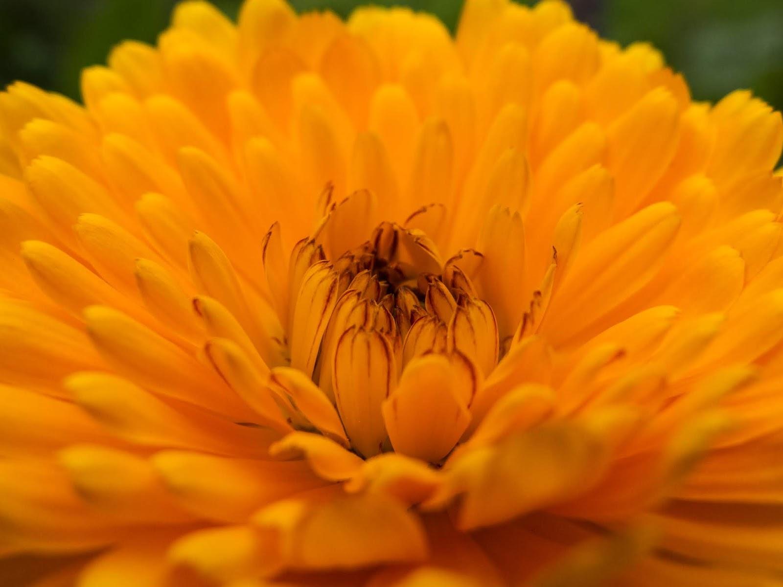 A close up of an orange Calendula flower.