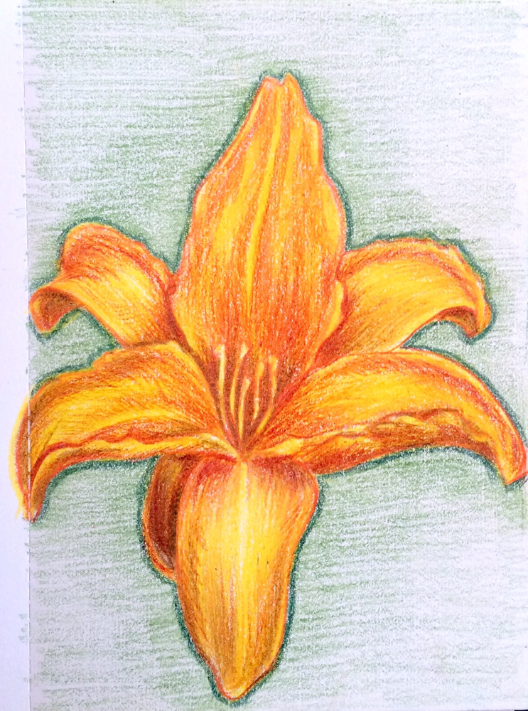 My Grinning Mind Yellow Lily Flower Pencil Drawing