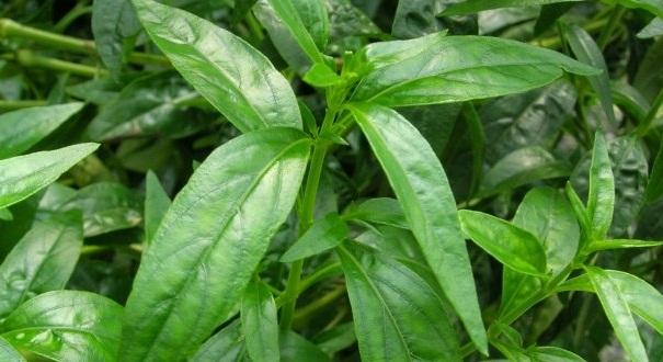Beberapa Manfaat Tumbuhan Sambiloto Untuk Kesehatan