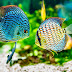 Ternak Ikan Air Tawar yang Paling Menguntungkan, Omzet Mencapai Ratusan Juta !