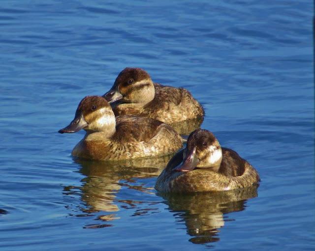 Ruddy Ducks Catching A Little Sun