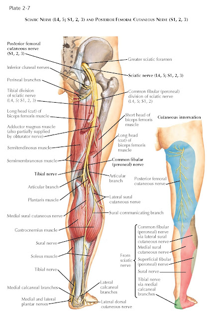 SCIATIC NERVE (L4, 5; S1, 2, 3) AND POSTERIOR FEMORAL CUTANEOUS NERVE (S1, 2, 3)