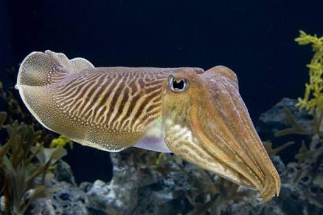 طائفة الرأسقدميات Class Cephalopoda