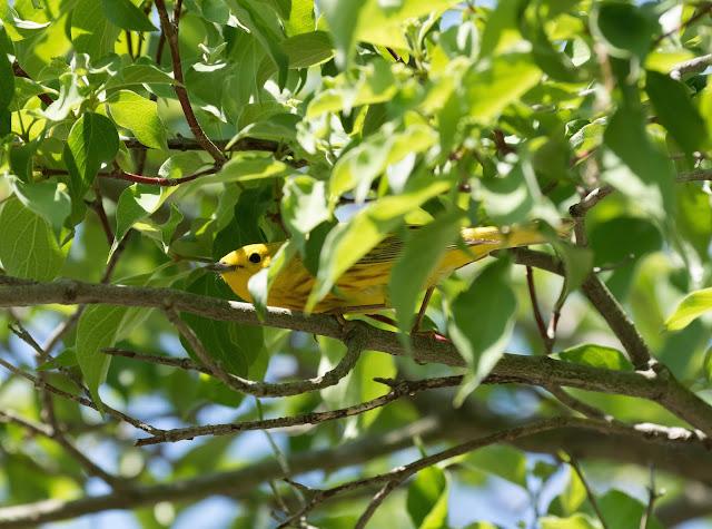 Yellow Warbler - Magee Marsh, Ohio, USA