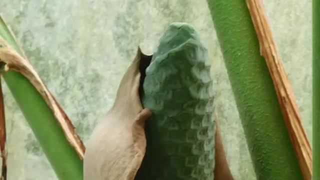 13 CRAZY FRUITS YOU'RE NEVER HEARD OF 7. Monstera Deliciosa