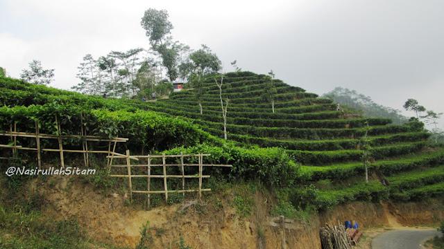 Rimbunnya Kebun Teh Nglinggo, Samigaluh, Kulonprogo