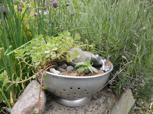 Diary of a permaculture (ish) garden, May 2019. From UK garden blogger secondhandsusie.blogspot.com #permacultreuk #suburbanpermaculture #frontgardenallotment #ukgardenblogger