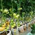 How to Start Tomato Farming Business