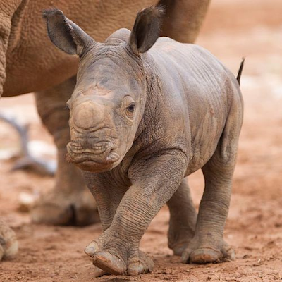 Rhinoceroses get their name from their most famous feature, their horns.