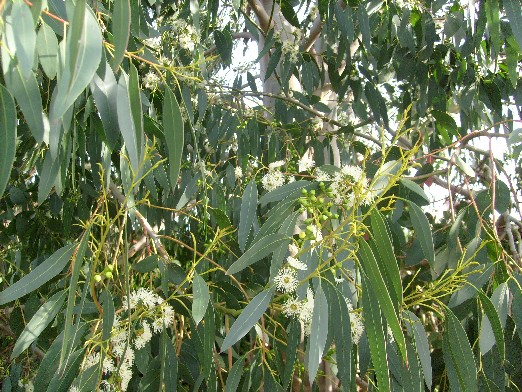 ma plan te jardin premi re floraison pour l 39 eucalyptus gunii. Black Bedroom Furniture Sets. Home Design Ideas