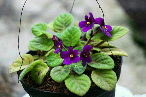 African Violets (Violces)