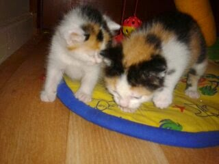 Five week old kittens Olympia and Torch