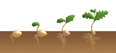 5 Fungsi Dan Cara Kerja Hormon Giberelin Pada Tumbuhan