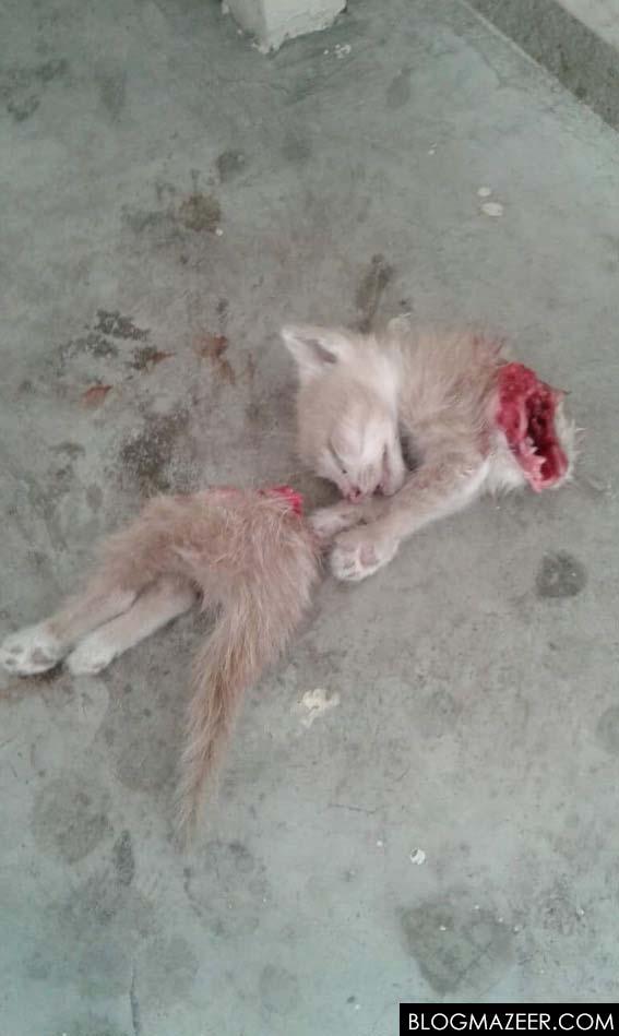 Kucing Terbiar Mati Dipotong Dua