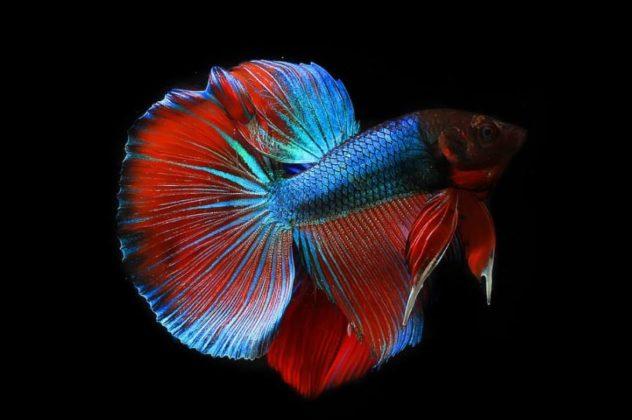 Gambar Ikan Cupang Fancy