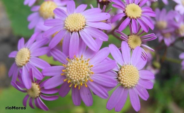 Flores de ARCILA Pericallis steetzii