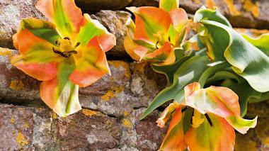 El atractivo de los tulipanes Viridiflora (Tulipanes verdes)