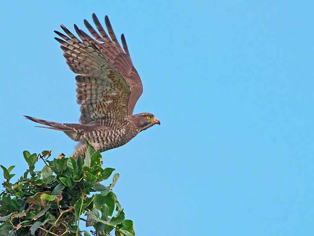 birds, Grey-faced Buzzard, migratory, Okinawa