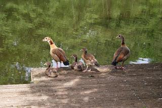 Enten stehen auf einem Steg