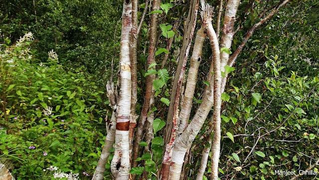Trees of Bhojpatra