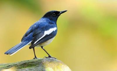 Gambar burung madagaskar