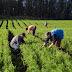 Pagamento do Garantia-Safra é liberado para agricultores familiares do município de Mairi
