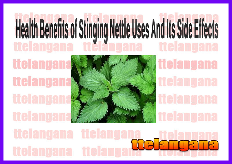 Health Benefits of Stinging Nettle Uses And Its Side Effects
