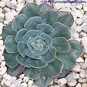 Succulent Plant with Pebbles as Mulch