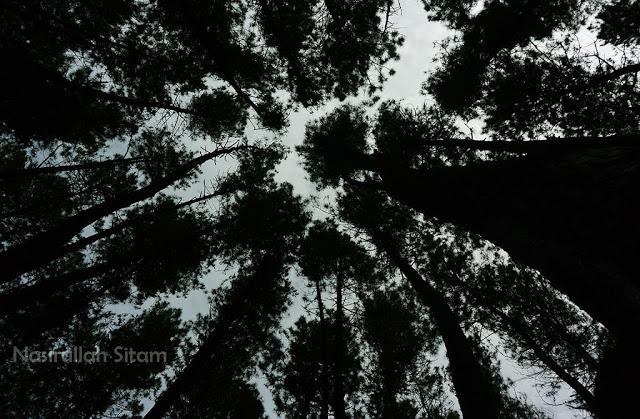 Pinus Setro tempatnya sejuk