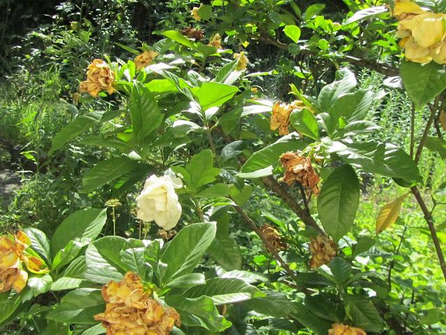Fioritura Gardenia jasminoides