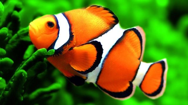 Gambar dan Foto Jenis Parasit Ikan Badut