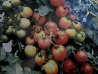 jenis tomat besar, tomat hibrida, benih lentana f1, manfaat tomat, masker tomat, jual benih tomat, toko pertanian, toko online, lmga agro