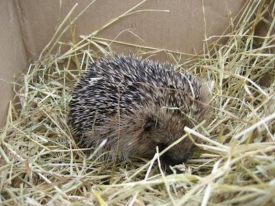 Boris the hedgehog