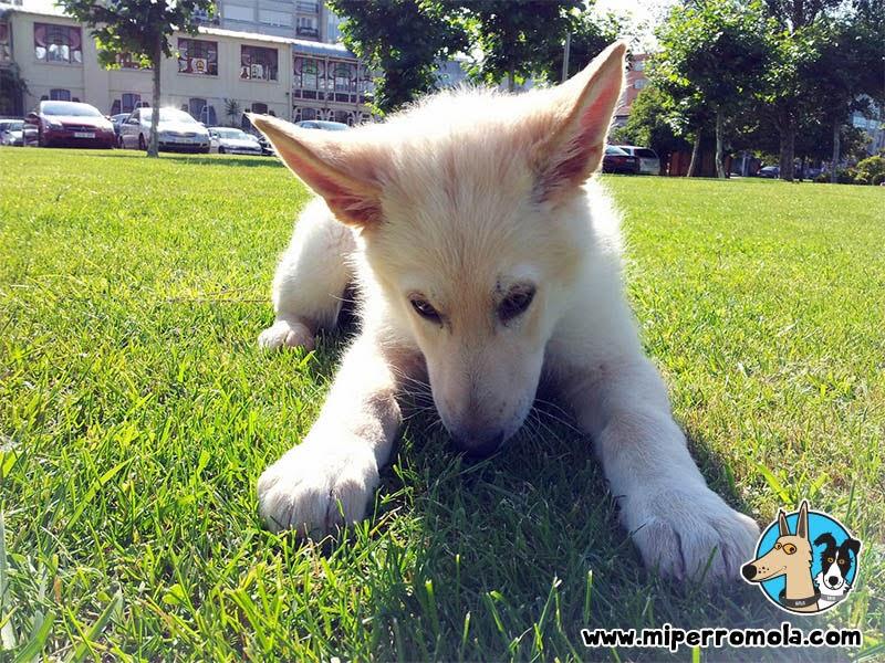 Can de Palleiro cachorro olfateando el césped