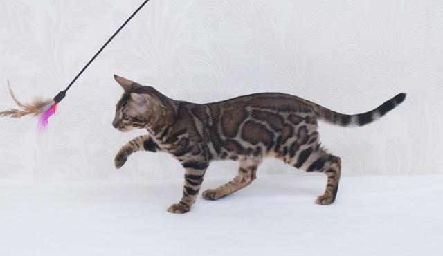 brown rosetted bengal cat